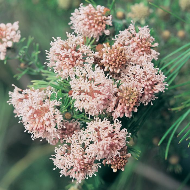 Grevillea Crithmifolia Prostrate  ] 9336922012229 - Flower Power