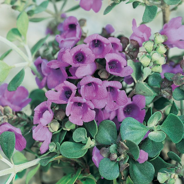 Round-Leaved Mint Bush  ] 9336922014322P - Flower Power