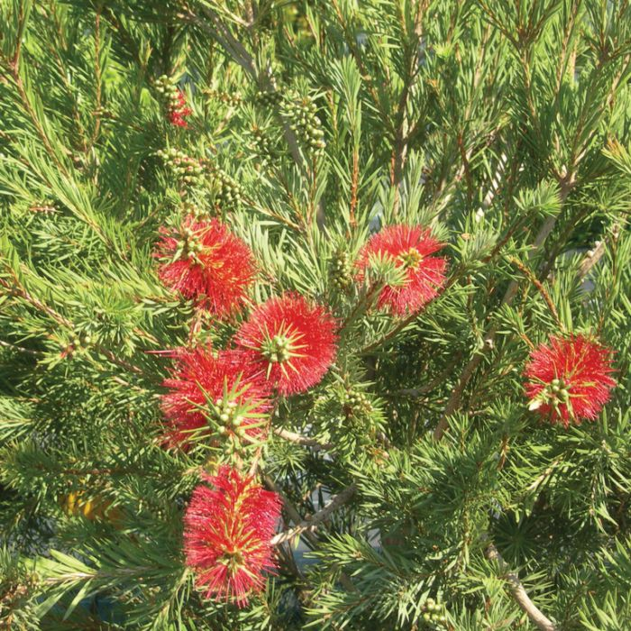 Bottlebrush 'Brogo Overflow'  ] 9336922016425 - Flower Power