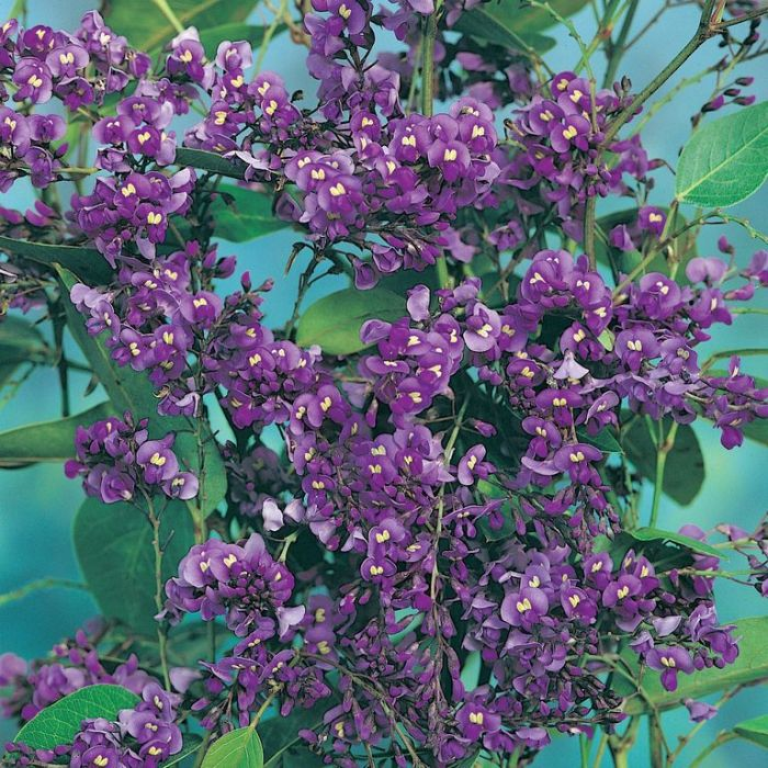 Hardenbergia Purple Spray  ] 9336922016821 - Flower Power