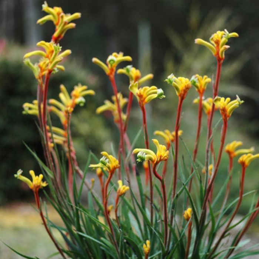 Kangaroo Paw Bush Tenacity  ] 9336922020330P - Flower Power