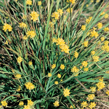 Conostylis aculeata  ] 9336922021146 - Flower Power