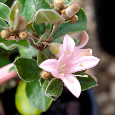 Correa Catie Bec  ] 9336922021184 - Flower Power
