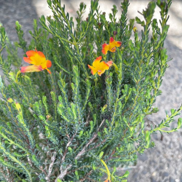 Lechnaultia Esperance Sunrise  ] 9336922028244 - Flower Power
