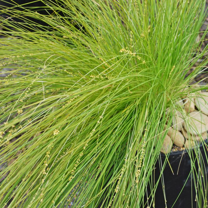 Lomandra Lime Divine  ] 9336922029258P - Flower Power