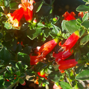 Correa Fire Bells  ] 9336922032968 - Flower Power