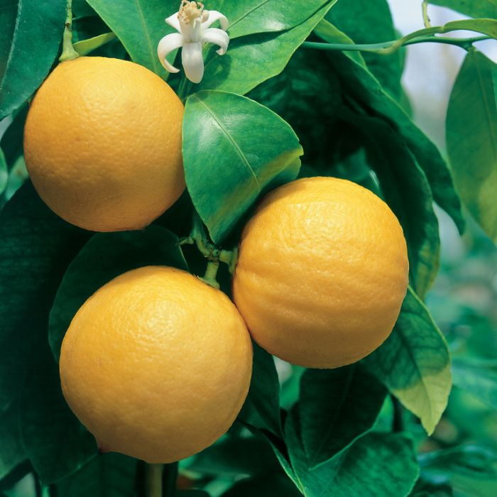 Bergamot Orange  ] 9345160003845P - Flower Power