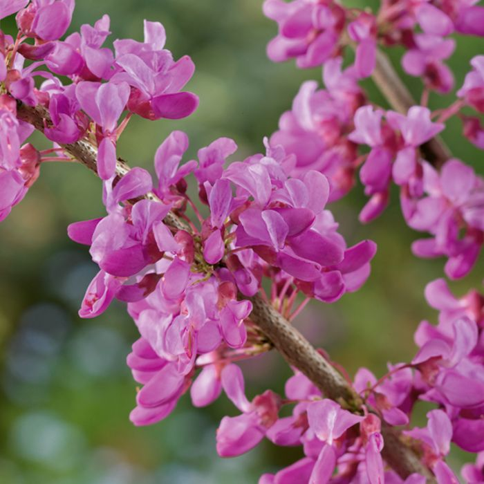 Cercis Forest Pansy  ] 9006500300P - Flower Power