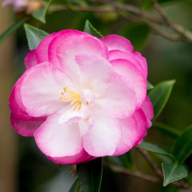 Camellia Sasanqua Paradise Sayaka  ] 1412760190P - Flower Power