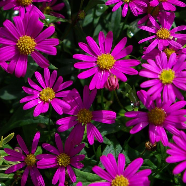 Brachyscome Radiant Magenta  ] 1636580140P - Flower Power