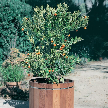 Calamondin Cumquat  ] 9005530165P - Flower Power