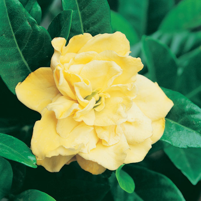 Gardenia Gold Magic, Picture Of Gardenia