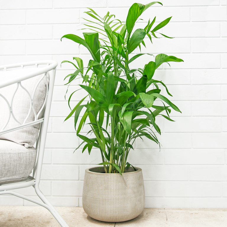 Indoor Plants: The Complete Guide - Bamboo Palm