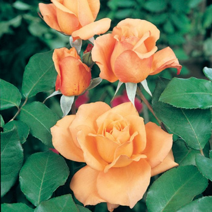 Brandy Rose  7493000200