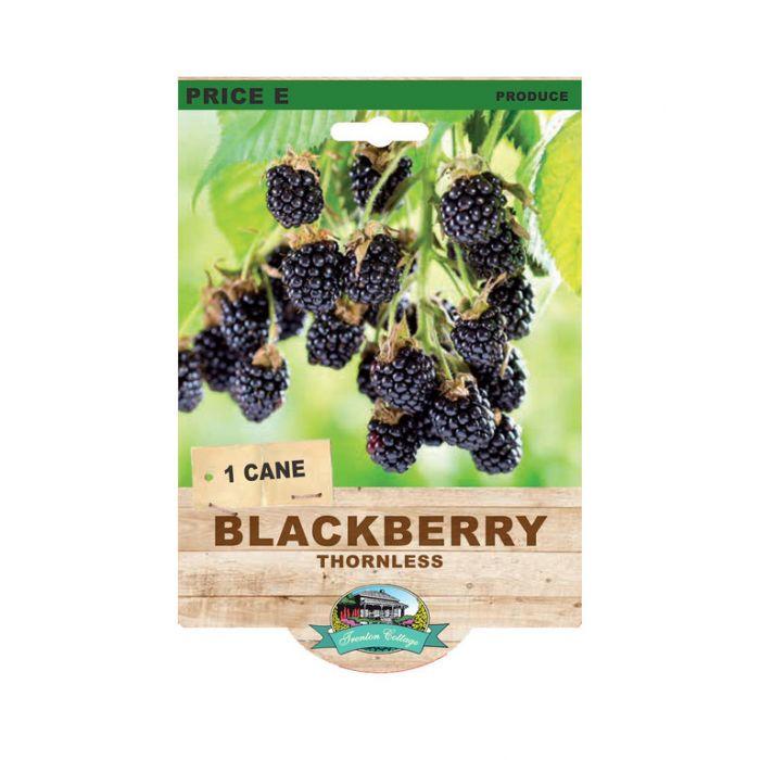 Blackberry Thornless  9315774072209