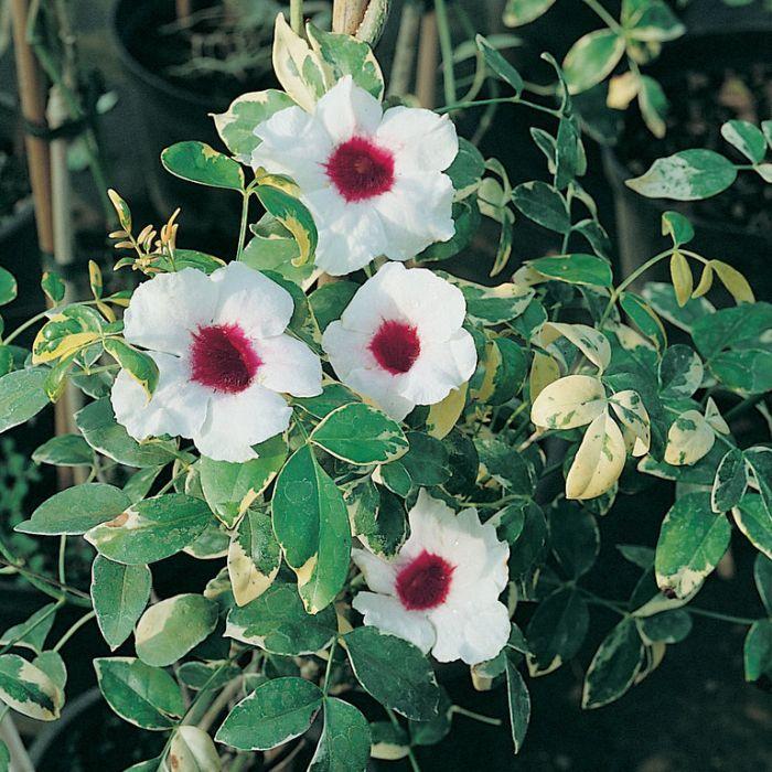 Pandorea Jasminoides Charisma  1136900140P