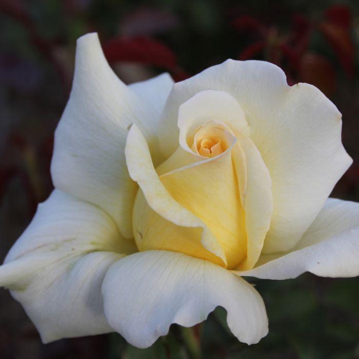 Close To You PBR Rose  1148050200