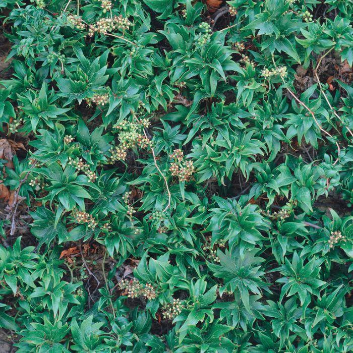 Parthenocissus Lowii  135288