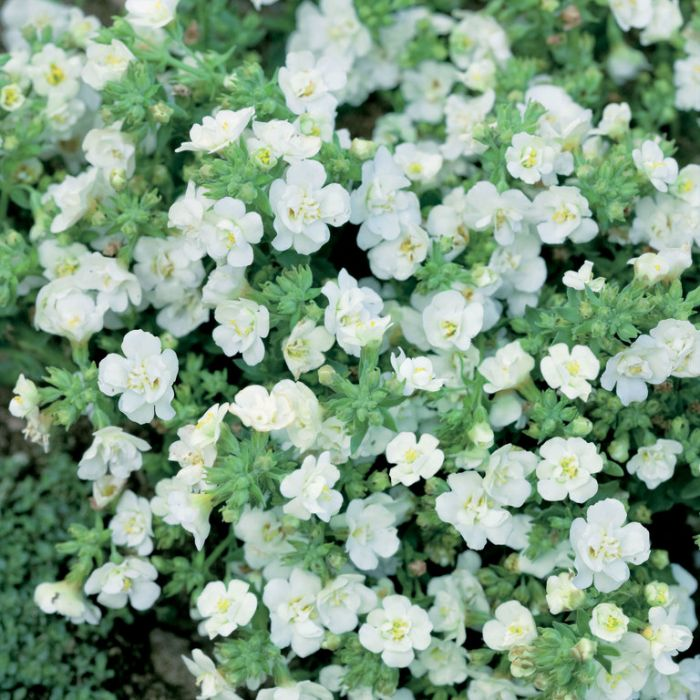 Bacopa Snowball  1620540140