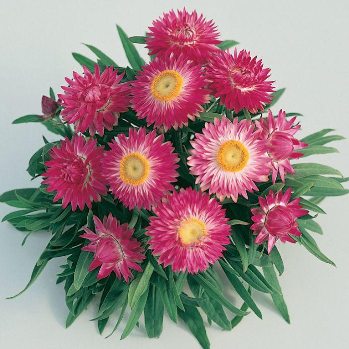 Bracteantha Jumbo Light Pink  1629390140