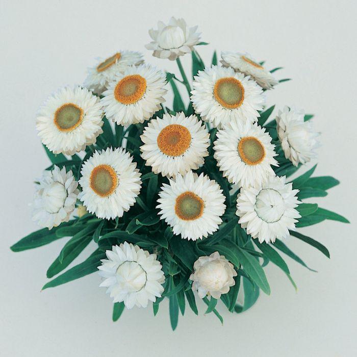 Bracteantha Jumbo White  1629410140