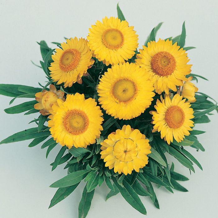 Bracteantha Jumbo Yellow  1629420140