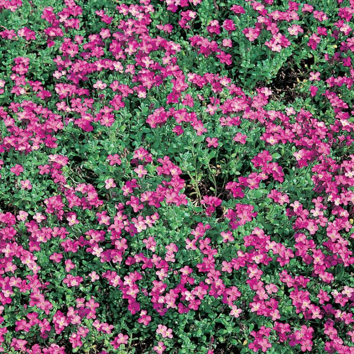 Aubrieta Axcent Dark Pink  1673690140