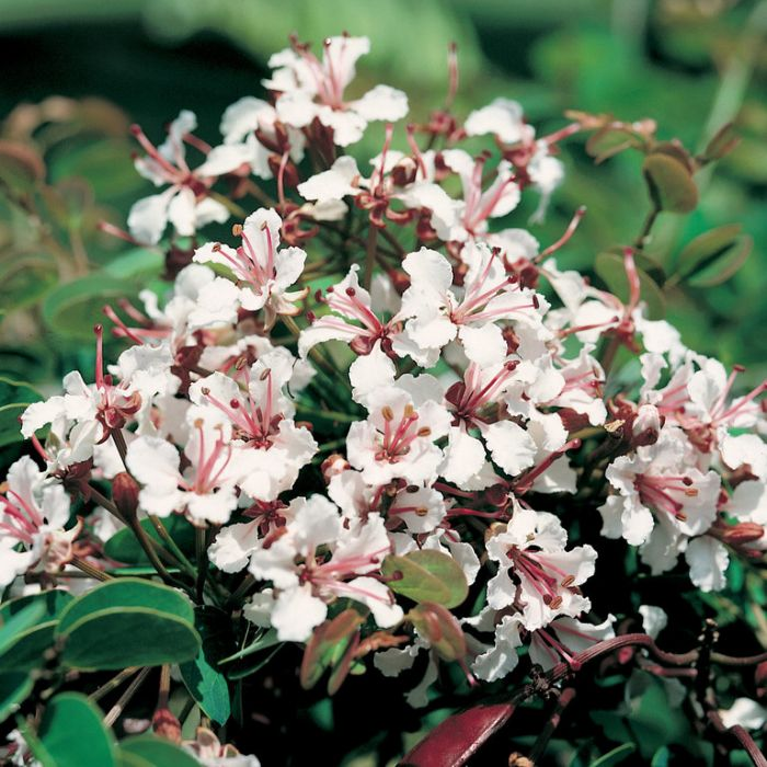 Bauhinia Corymbosa  168932
