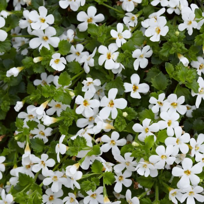 Bacopa Scopia Gulliver Snow  9003760140