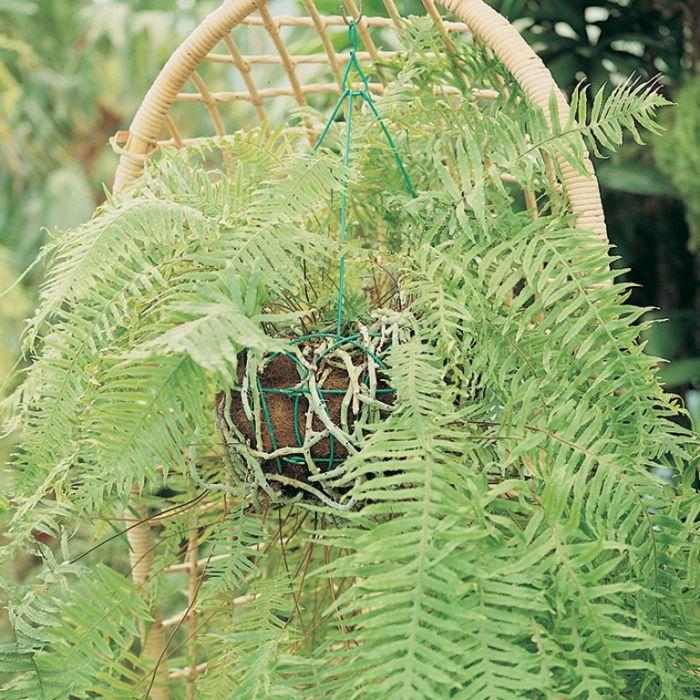 Caterpillar Fern  1652750130