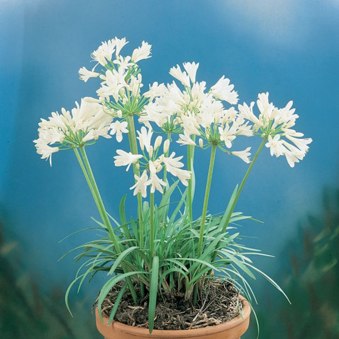 Dwarf Alba African Lily  9324806003029P