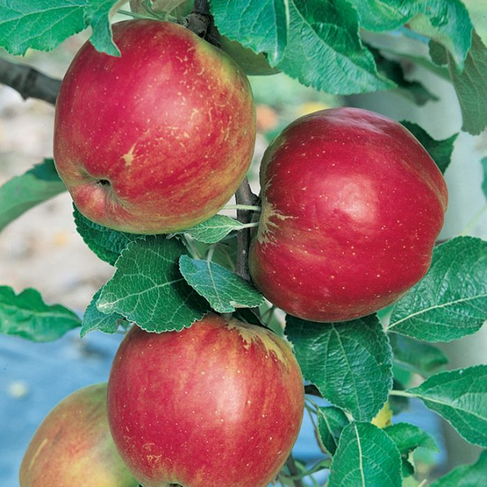 Apple Jonathan Dwarf  1638250250