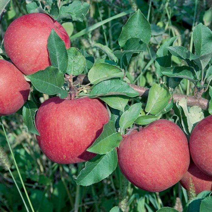Apple Red Fuji Dwarf  1638300250