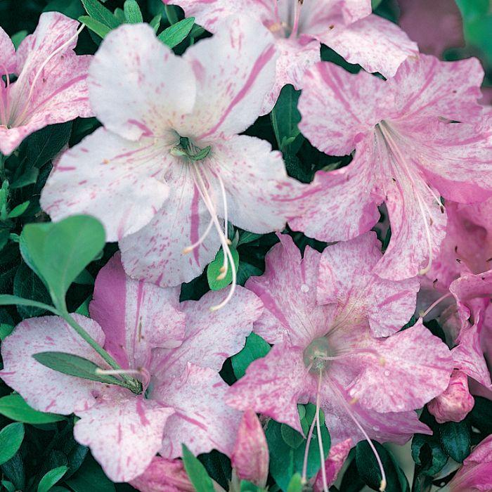 Azalea Gumpo Pink & White  1379810140P