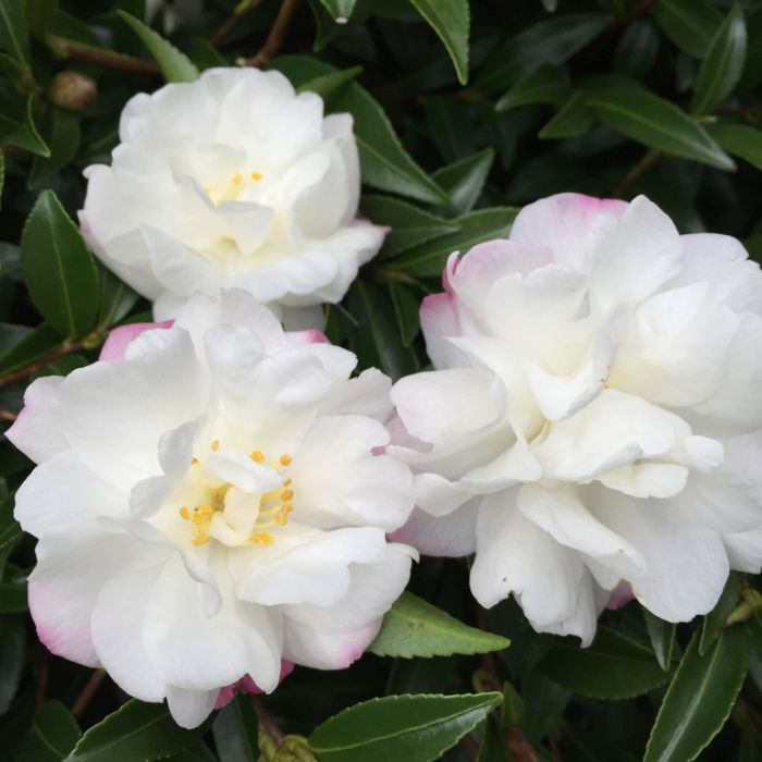 Camellia Mini Paradise Little Liane  1651560190P