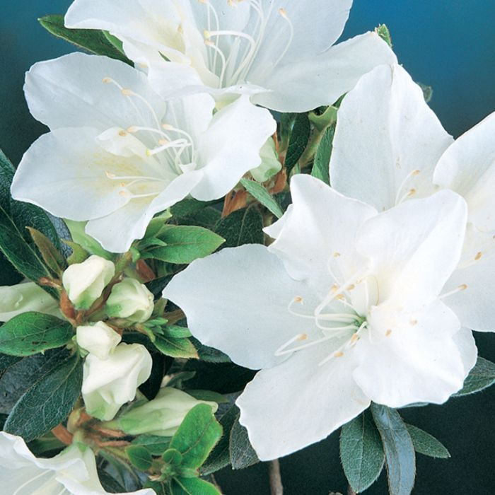 Azalea Fielders White  174858