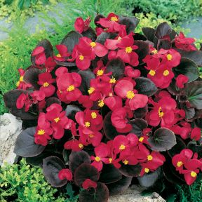 Begonia Dark Leaf Red