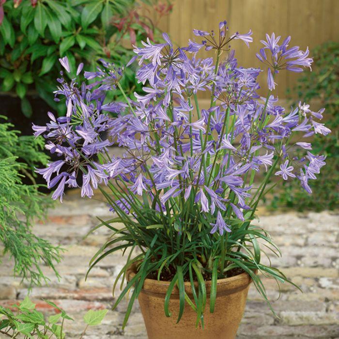Dwarf Blue African Lily  9321846025240P