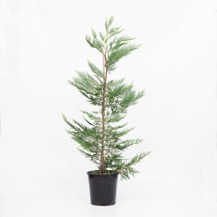 Conifer Leighton Green  3531300200P