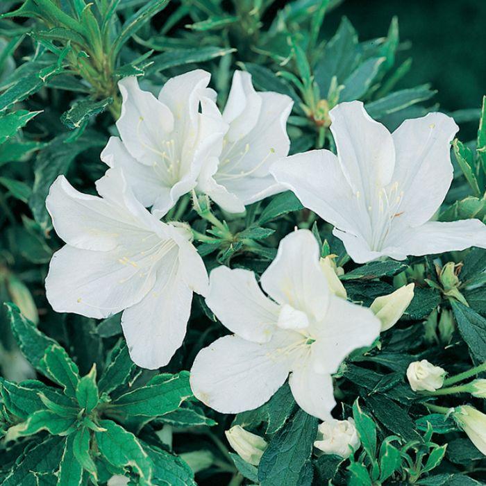 Azalea Alba Magnifica  1379640140P