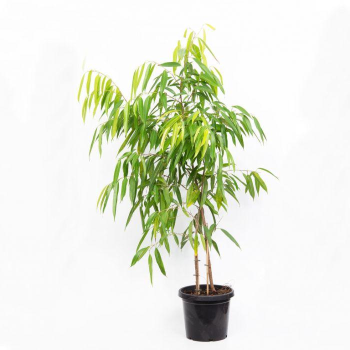 Sabre Ficus  169487