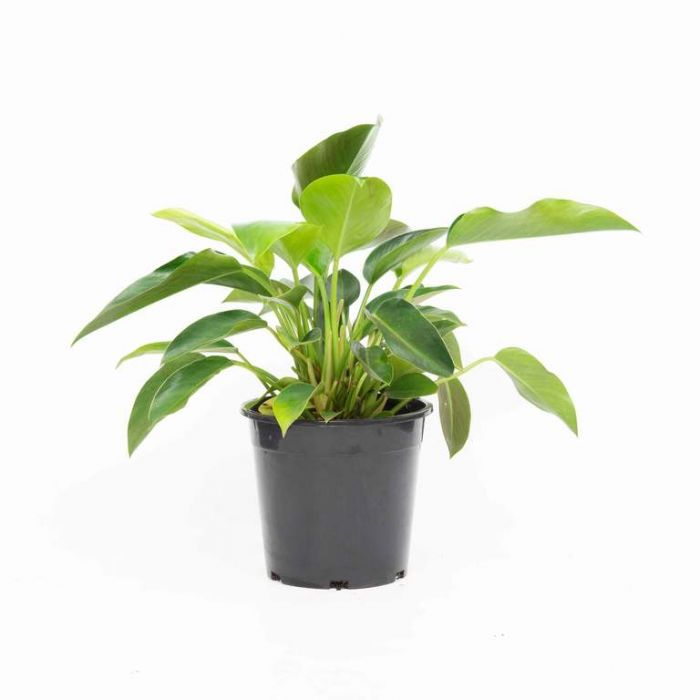 Philodendron Congo  179758