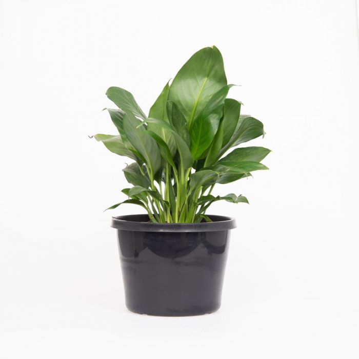 Peace Lily  179767