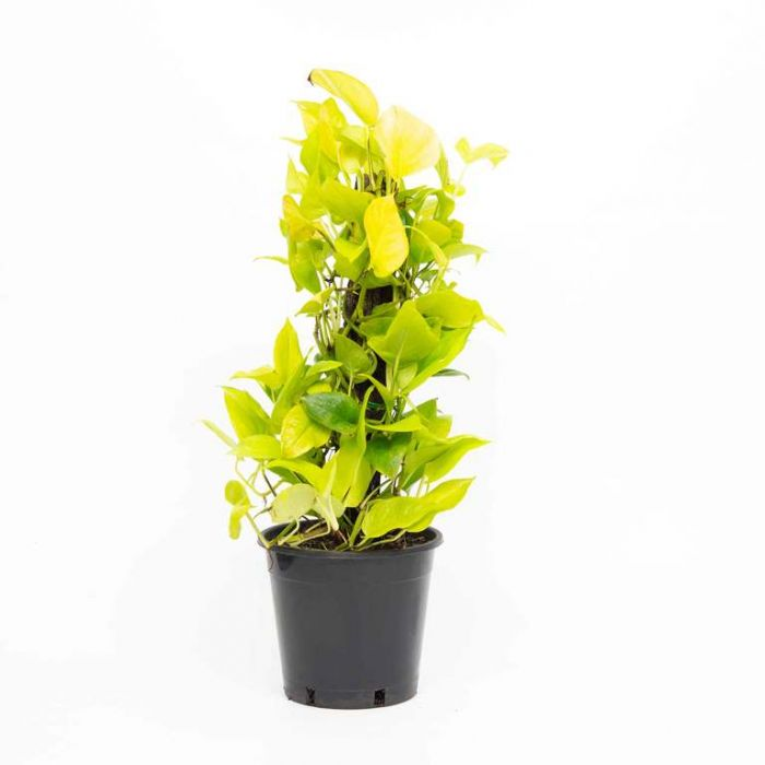 Goldilocks Pothos totem  4022400250