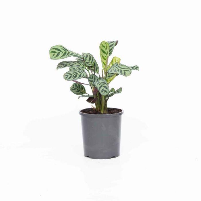 Fishbone prayer plant  9324228002808