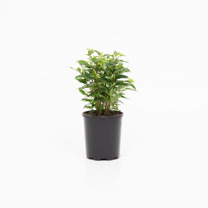 Ficus Natasja  9014680125