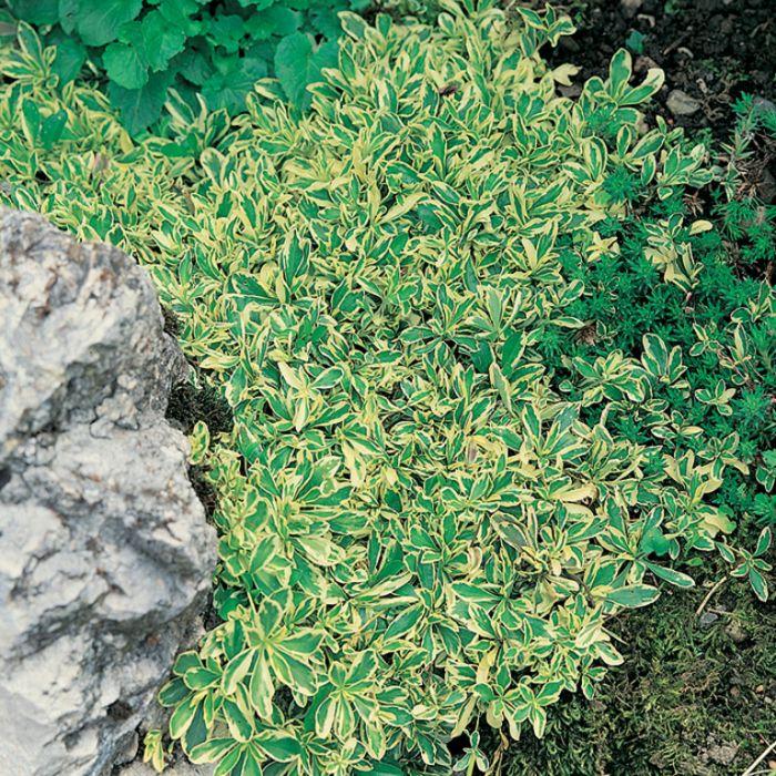 Alpine Wall Cress  9313208565396P