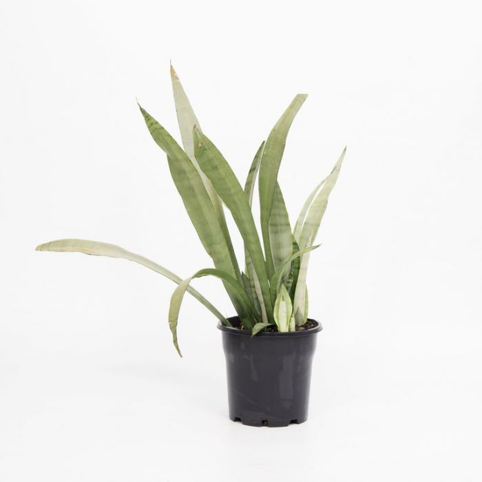Silver Snake Plant  158002P