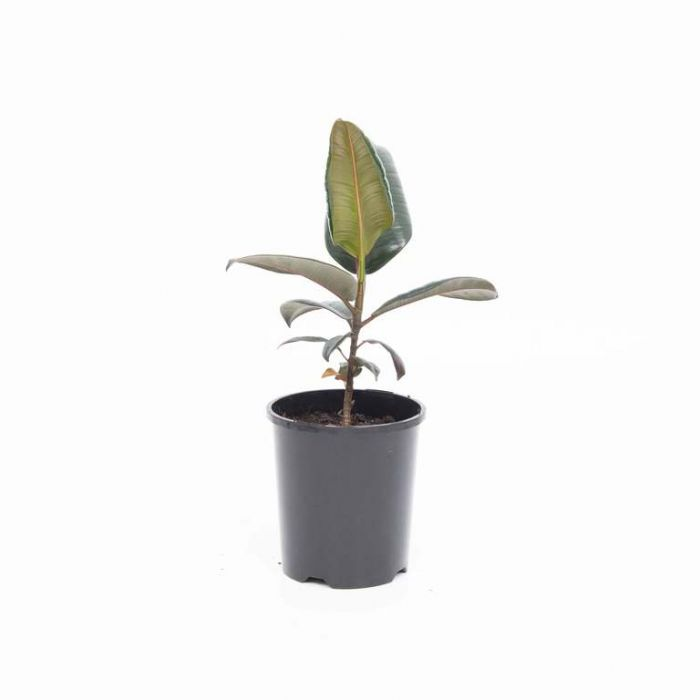 Ficus Burgundy  179755P