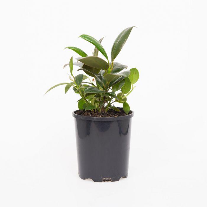 Ficus Melany  9008140125P
